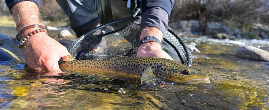 A brown trout in a river