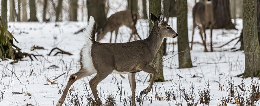 Whitetail deer in a field