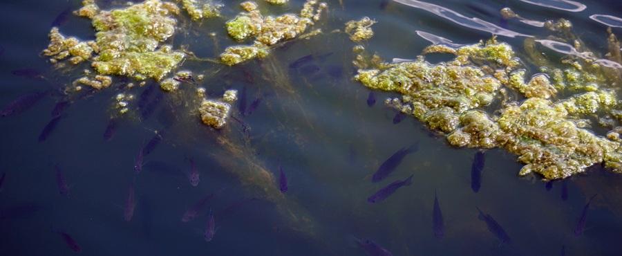 bluegill fish in a pond